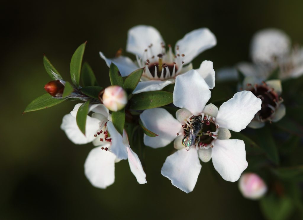 Leptospermum scoparium (Manila Flowers)